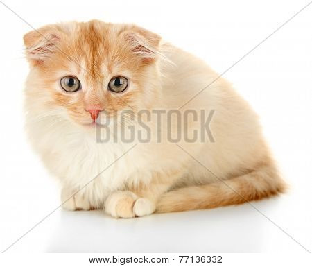 Cute little Scottish fold kitten, isolated on white