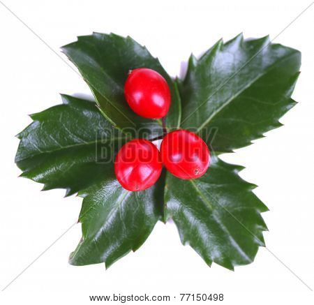 European Holly (Ilex aquifolium) with berries, isolated on white