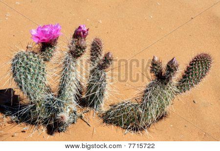 Cactus Starting to Bloom