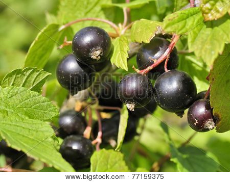 Berries Of Black Currant. Fruiting Bush Of Currant