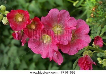 Beautiful decorating hollyhock flowers /Althaea officinalis/  in the garden