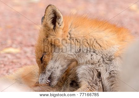 Itching Fox