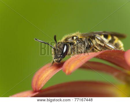 Bee On Flower (Lasioglossum Sp.)