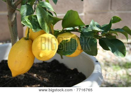 Stock Image Of Home Grown Lemon Tree