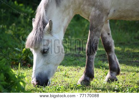 Cute Shetland Pony At The Pasture