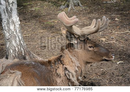 The Fading Maral (cervus Elaphus)