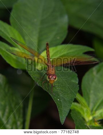 Macro Of Dragonfly