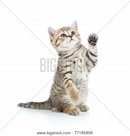 playful kitten cat