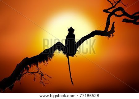 Silhouette Of A Monkey In Sunset