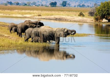 Elephants in Chobe, Botswana