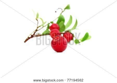 A Cowberry