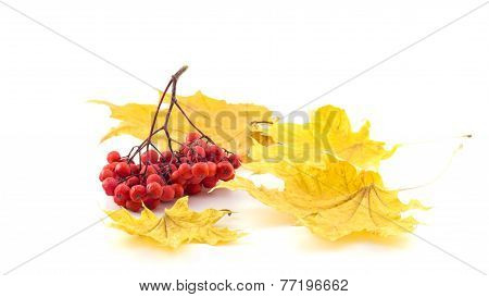 Bunch Of Rowan With Autumn Leaves On A White Background