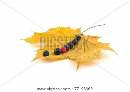 A Number Of Black And Red Berries Of A Mountain Ash On A Maple Autumn Leaves