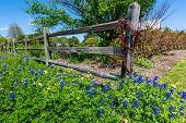 image of texas star  - A Wide Angle View of Beautiful Texas Bluebonnet   - JPG