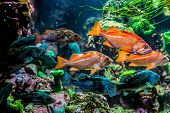 picture of grouper  - Several Interesting Colorful Grouper - JPG