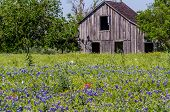 picture of bluebonnets  - Old Wooden Barn or Farm House in a Texas Field of Wildflowers - JPG
