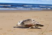 stock photo of angry bird  - seagull bird caught in a fishing line - JPG