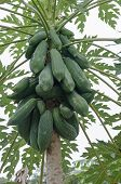 stock photo of papaya  - Papaya fruit on a tree  - JPG