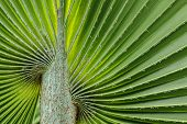 stock photo of veer  - Soft patterned palm leaves used as a background - JPG