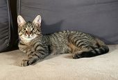 picture of yellow tabby  - Tabby kitten with yellow eyes lying on gray couch - JPG