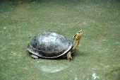 stock photo of terrapin turtle  - Turtle - JPG