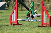 stock photo of spotted dog  - a jack russel that jumps an obstacle of dog agility