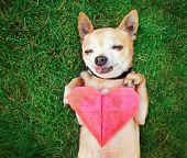 stock photo of paw  -  a cute chihuahua holding an origami paper heart  - JPG