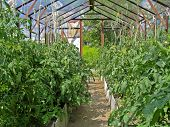 picture of greenhouse  - Tomatoes in greenhouse - JPG