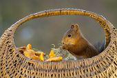 foto of eatables  - squirrel sitting in basket with eatable mushrooms - JPG