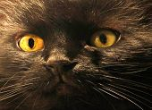 foto of catnip  - THE EYES TELL IT ALL. This is a very expressive face of a black furry domestic cat. He is the boss. Most of the time he gets what he is after. Those yellow piercing Halloween eyes will surely reach out and grab your attention.  ** Note: Slight graininess - JPG