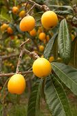 stock photo of loquat  - A tree full of ripe loquats ready to pick - JPG