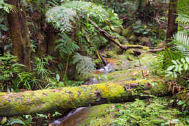 stock photo of rainforest  - Moss covered roots in the dense rainforest of Kubah National Park West sarawak Borneo Malaysia. ** Note: Shallow depth of field - JPG