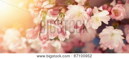Cherry Blossoms In Retro-styled Colors