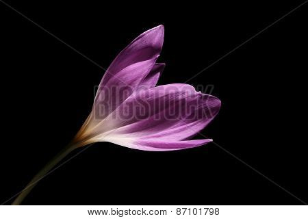 Light Purple Colchicum Against A Black Background