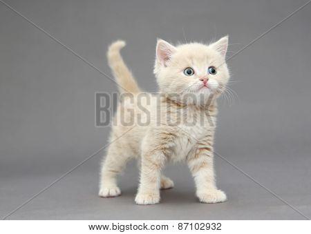 Little British Kitten Beige Color