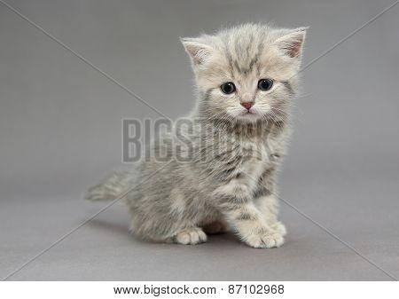 Little British Kitten Grey Colors