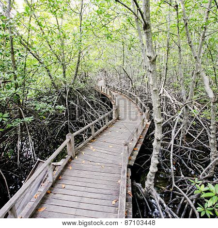 Walk Way To Mangrove Forest