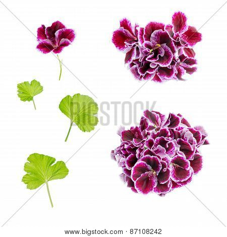 Set Of Blooming Velvet Purple Geranium Flower Is Isolated On White Background. Royal Pelargonium