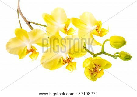 Top Down Of Blooming Twig Beautiful Yellow With Bud Orchid, Phalaenopsis Is Isolated On White Backgr