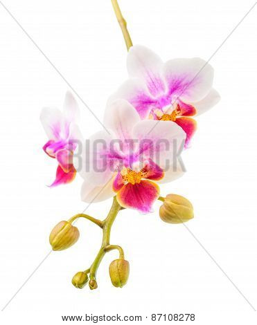 Blooming Twig Of Beautiful White And Purple Orchid, Phalaenopsis With Buds Is Isolated On White Back