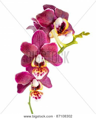 Blooming Twig Of Beautiful Dark Purple Orchid, Phalaenopsis Is Isolated On White Background, Closeup