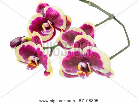 Blooming Branch Of Beautiful Dark Purple Orchid, Phalaenopsis With Yellow Rim Is Isolated On White B