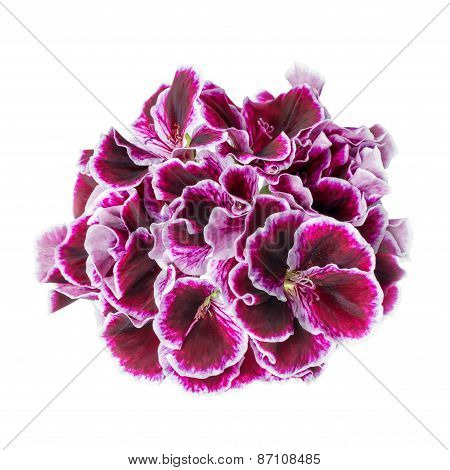 Beautiful Blooming Dark Purple Geranium Flower Is Isolated On White Background. Royal Pelargonium