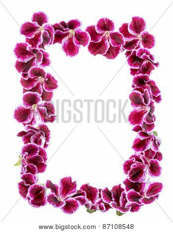 Border Of Blooming Velvet Purple Geranium Flower Is Isolated On White Background. Royal Pelargonium