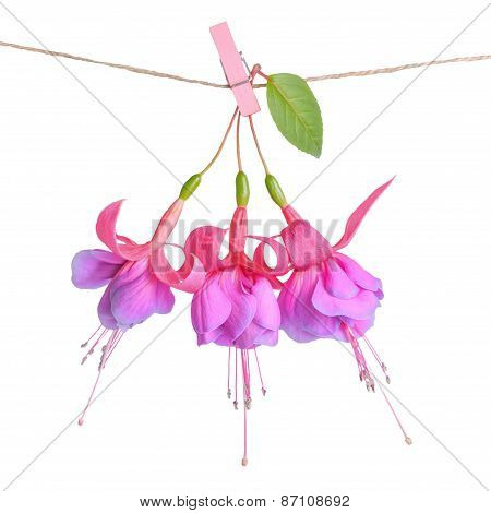 Fuchsia Flowers Handing On Rope With Clothespin Is Isolated On White Background, Closeup