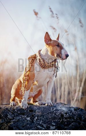 The Dog Of Breed A Bull Terrier In A Checkered Scarf