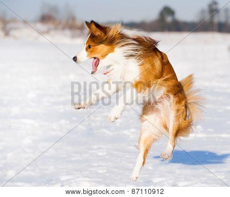Happy Border Collie Jump