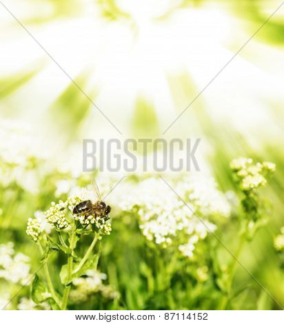 Bee On A Flowers And The Sun's Rays