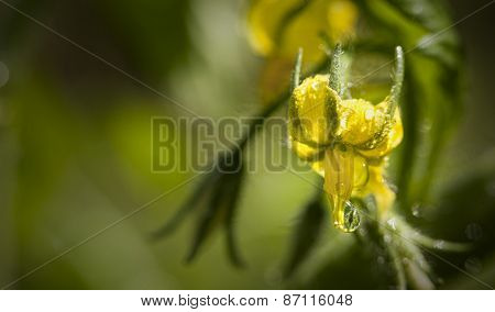 Tomato Bloom With Waterdrops