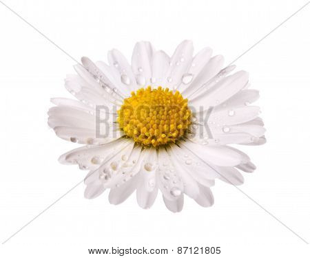 white daisy flower with dew drops